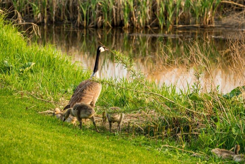 Ganso de Canadá con el embrague de ansarones al lado de la cala en el campo de golf de Elmwood en la corriente rápida, SK imágenes de archivo libres de regalías