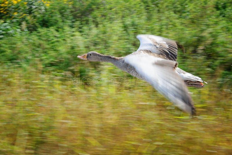 Ganso de ganso silvestre en el movimiento de la toma panorámica durante vuelo sobre campo fotos de archivo libres de regalías
