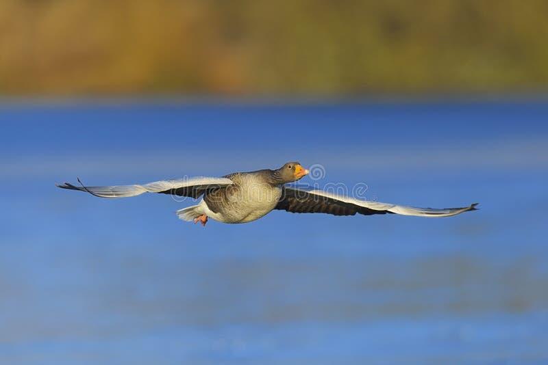Ganso de ganso silvestre en vuelo imagenes de archivo