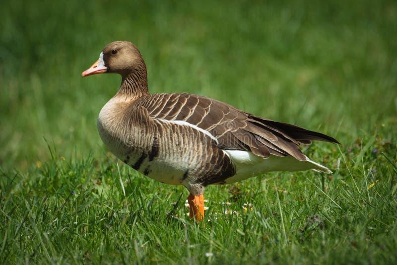 Ganso de pato bravo europeu fotografia de stock