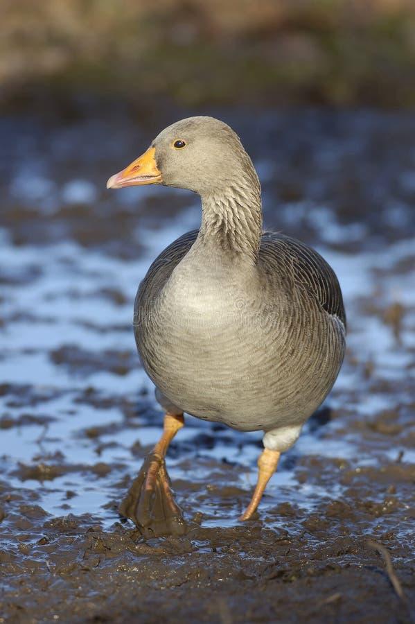 Ganso de pato bravo europeu - anser do Anser imagens de stock