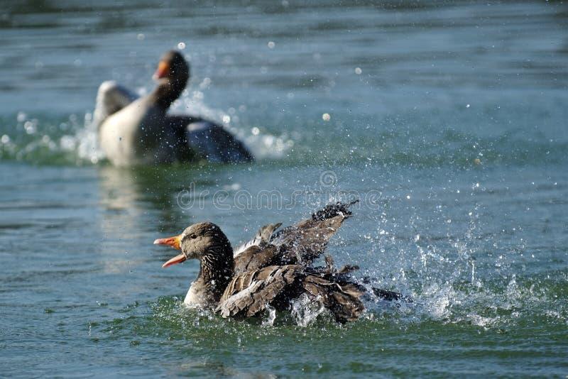 Ganso de pato bravo europeu (anser do Anser) imagens de stock royalty free