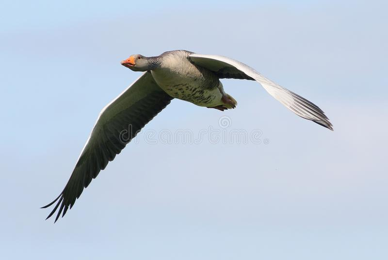 Ganso de pato bravo europeu (anser do Anser) em voo fotografia de stock