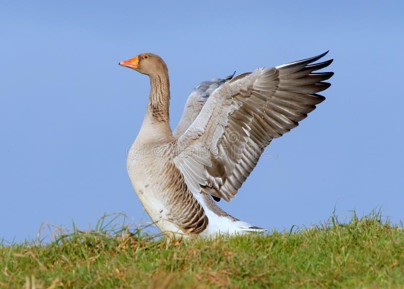 Ganso de pato bravo europeu (anser Wing Flapping do Anser foto de stock royalty free
