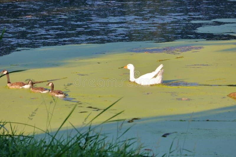 Ganso de pato bravo europeu que cruza com ganso de Canadá imagens de stock royalty free