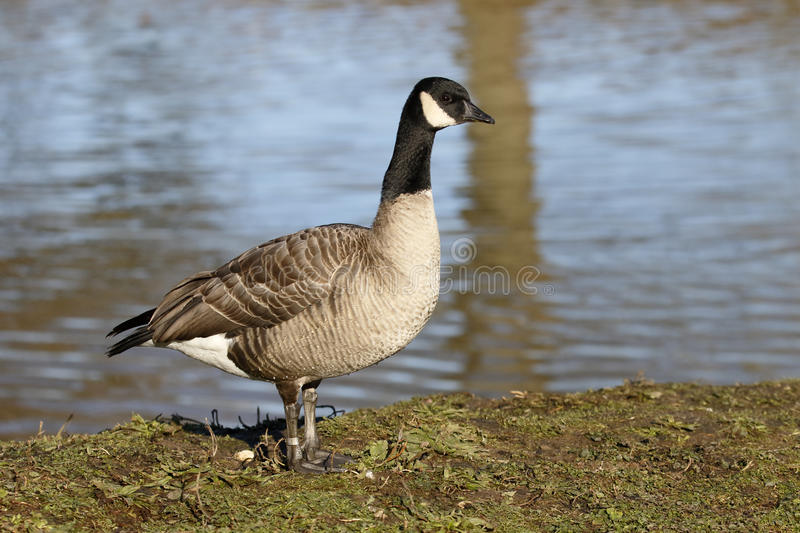 Ganso de Richardsons Canadá, hutchinsii do hutchinsii do Branta foto de stock