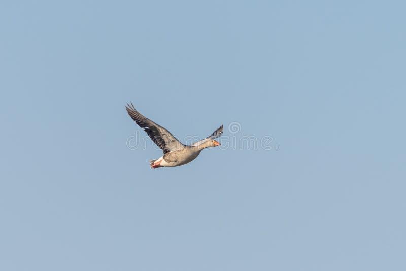 Ganso de ganso silvestre ( Anser anser) , admitido el Reino Unido imagen de archivo libre de regalías