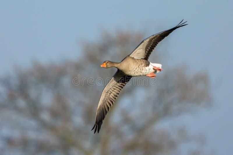 Ganso de ganso silvestre - anser del Anser en vuelo imagen de archivo libre de regalías