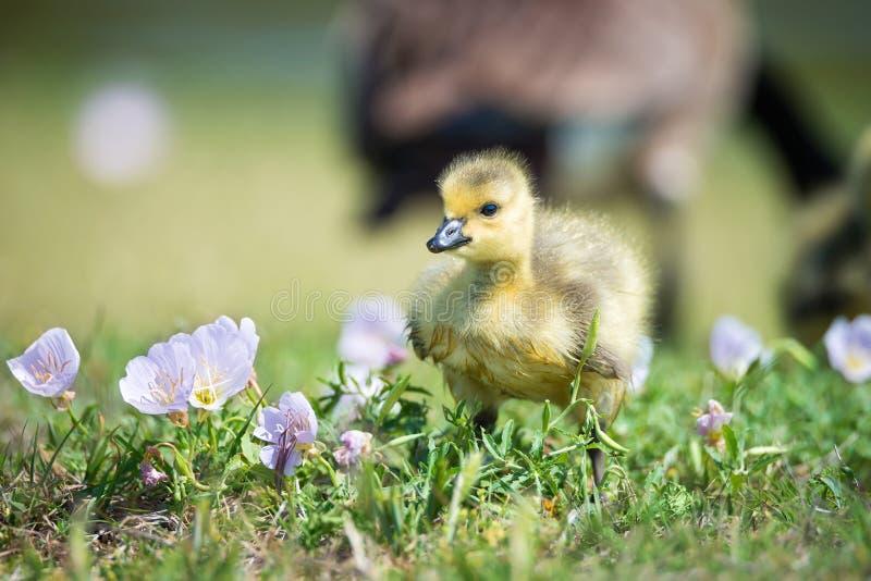 Ganso do ganso de Canadá em flores da mola fotografia de stock royalty free