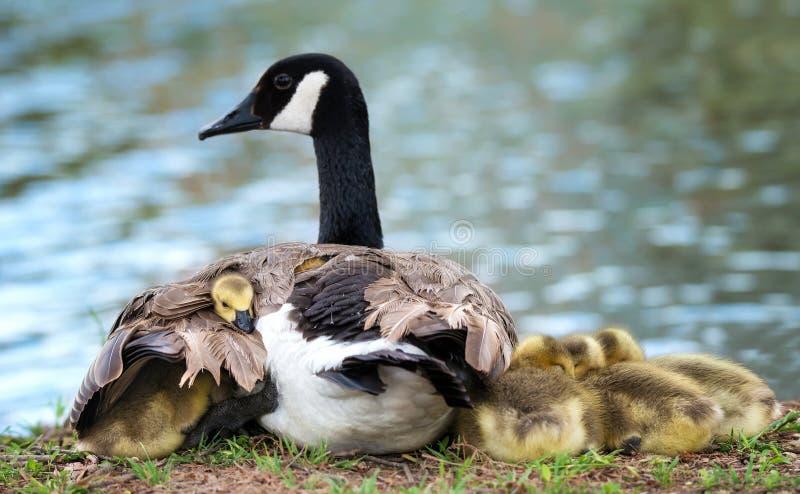 Ganso do ganso de Canadá que aconchegam-se com mãe fotografia de stock