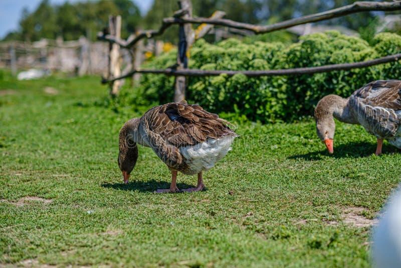 ganso e patos do país que andam no jardim fotografia de stock royalty free