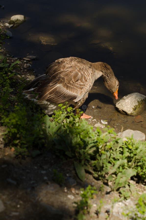 Ganso en el parque zoológico fotos de archivo