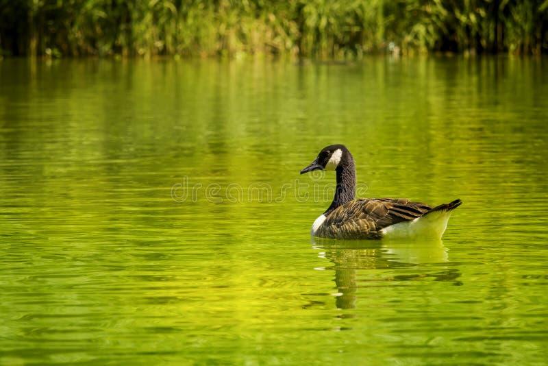 Ganso en un lago imagenes de archivo