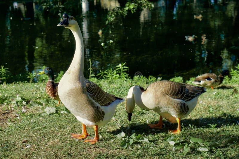 Ganso masculino y femenino por el lago imágenes de archivo libres de regalías