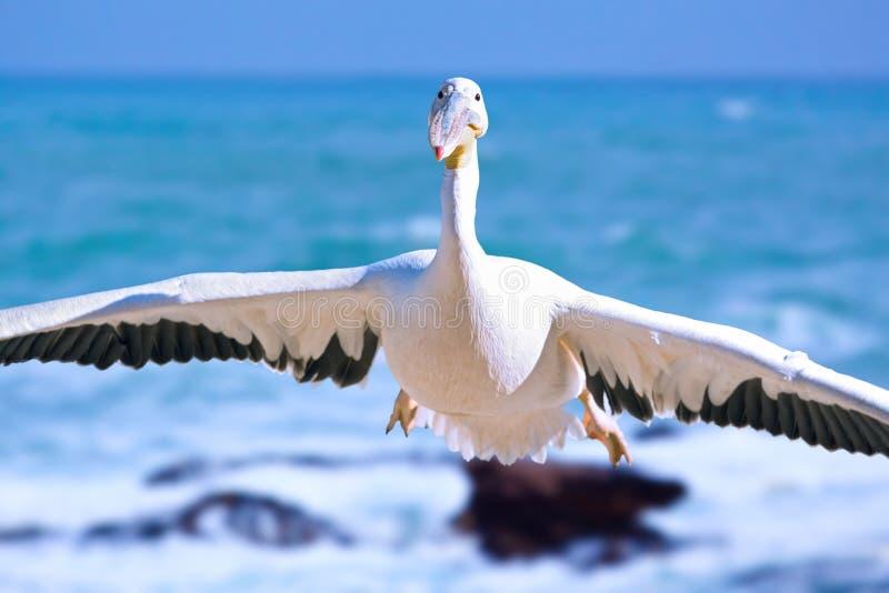 Ganso o pelicano que vem perto em uma demonstração aérea lenta fotos de stock royalty free