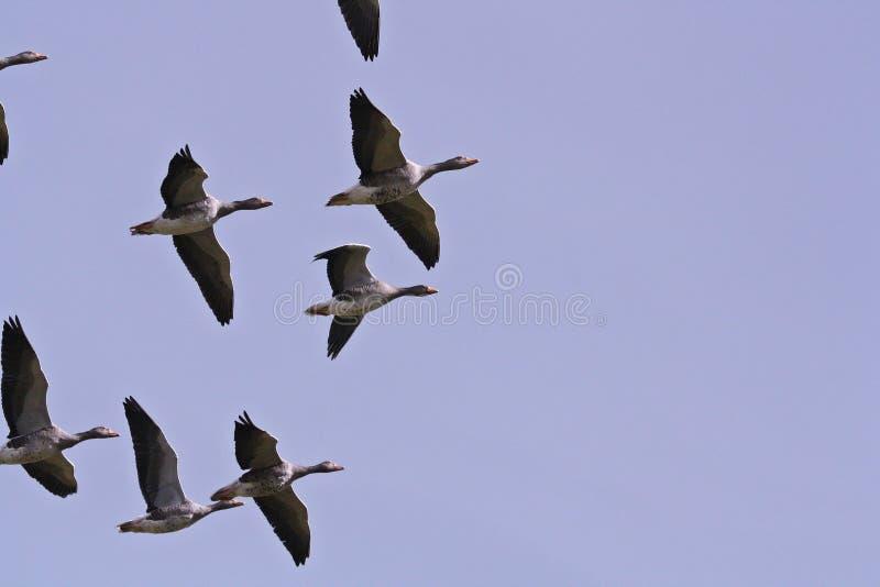 Ganso silvestre Gooses en el vuelo de la formación en un cielo azul Islandia imagenes de archivo
