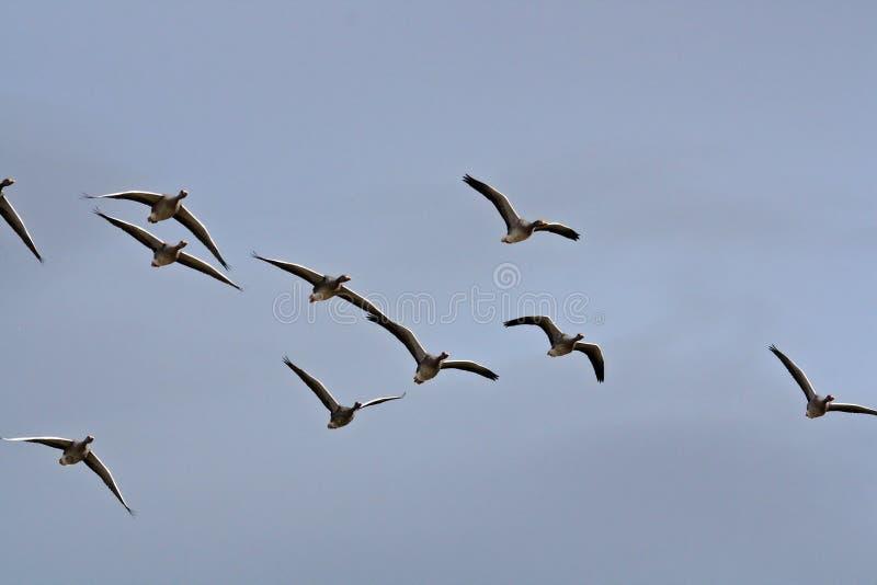 Ganso silvestre Gooses en el vuelo de la formación en un cielo azul Islandia imagen de archivo libre de regalías