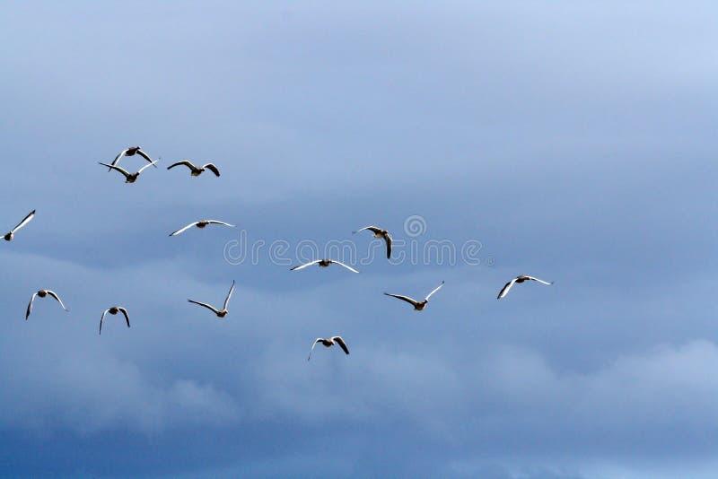 Ganso silvestre Gooses en el vuelo de la formación en un cielo azul Islandia imagen de archivo