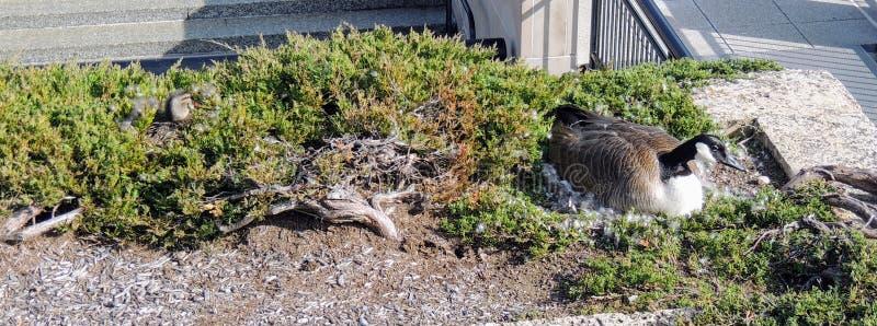 Ganso y pato silvestre canadienses Duck Nesting en arbustos en paisaje urbano de las piscinas y de la hierba de la reflexión del  fotos de archivo