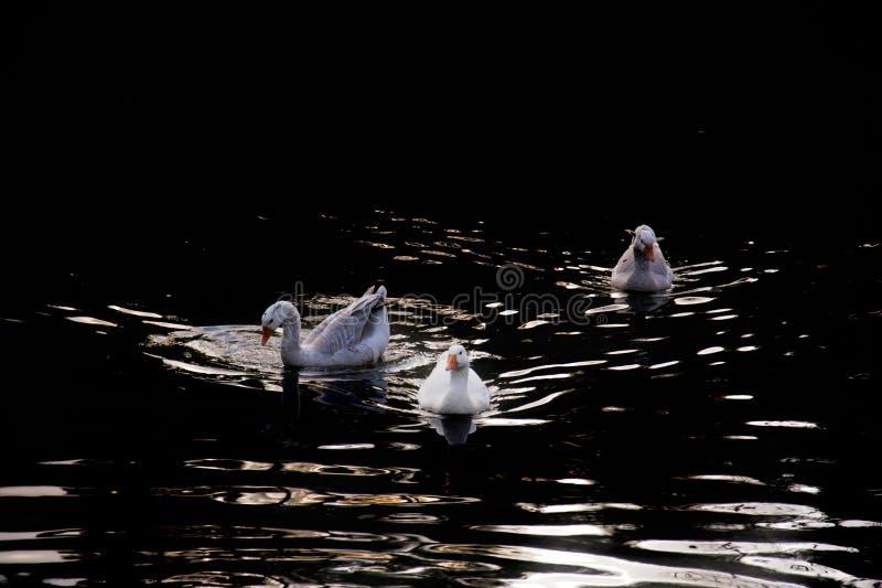 Gansos blancos en el agua oscura en el crepúsculo fotos de archivo libres de regalías