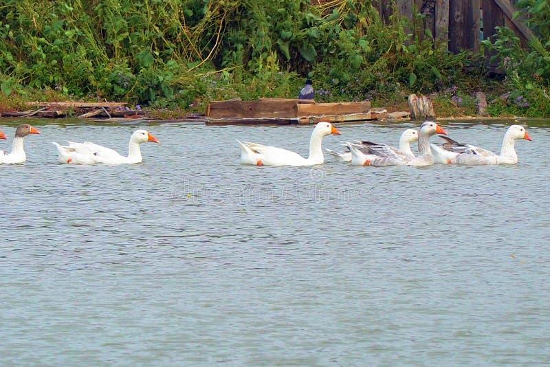 Gansos brancos que nadam em um lago imagens de stock royalty free