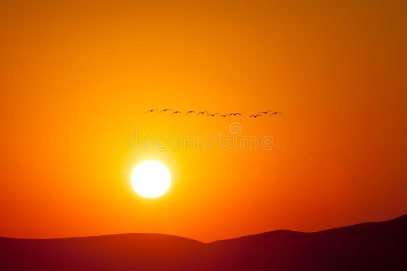Gansos canadienses que vuelan en la salida del sol imagenes de archivo
