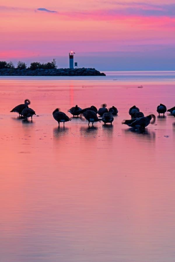 Gansos de Canadá e uma baliza do farol no nascer do sol fotografia de stock royalty free