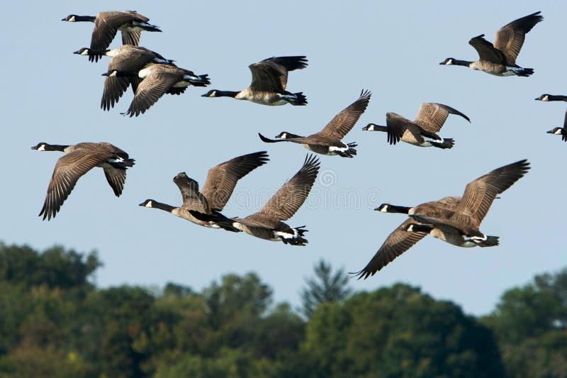Gansos de Canadá em voo sobre árvores fotos de stock