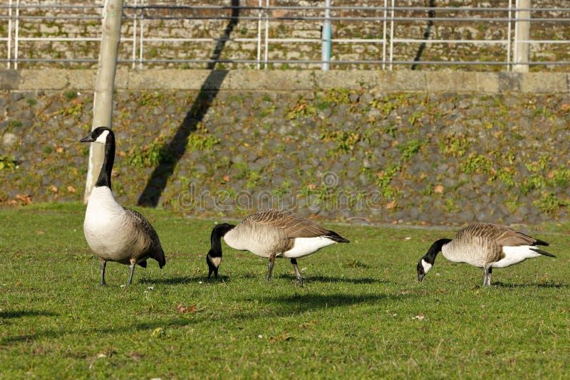 Gansos de Canadá en un prado en Frankfurt-am-Main fotos de archivo