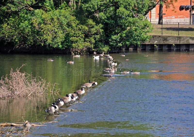 Gansos de Canadá no rio Derwent, derby fotos de stock
