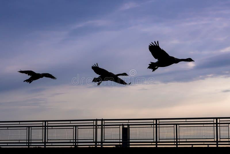 Gansos de Canadá no voo da silhueta no nascer do sol fotografia de stock