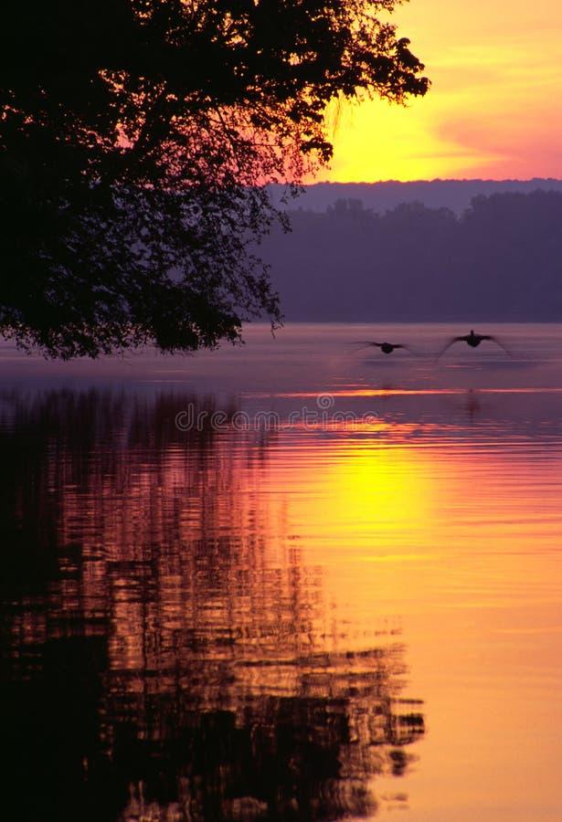 Gansos de Canadá que aterram no lago no nascer do sol fotografia de stock royalty free