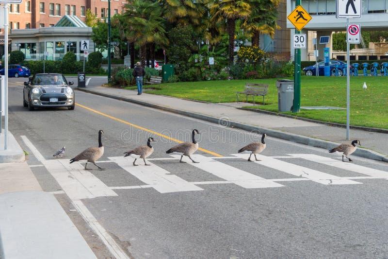 Gansos de Canadá que cruzam uma estrada em um cruzamento de zebra fotografia de stock royalty free