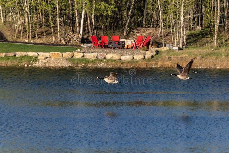 Gansos de Canadá que vuelan sobre el agua fotografía de archivo libre de regalías