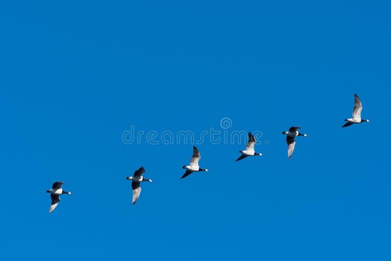 Gansos de craca de voo em uma linha fotografia de stock royalty free