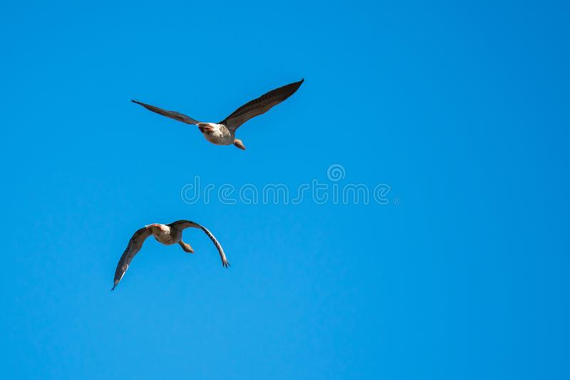 Gansos de ganso silvestre en mediados de vuelo imagen de archivo