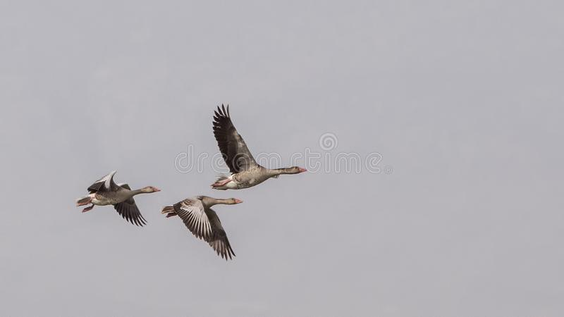 Gansos de ganso silvestre en vuelo foto de archivo libre de regalías