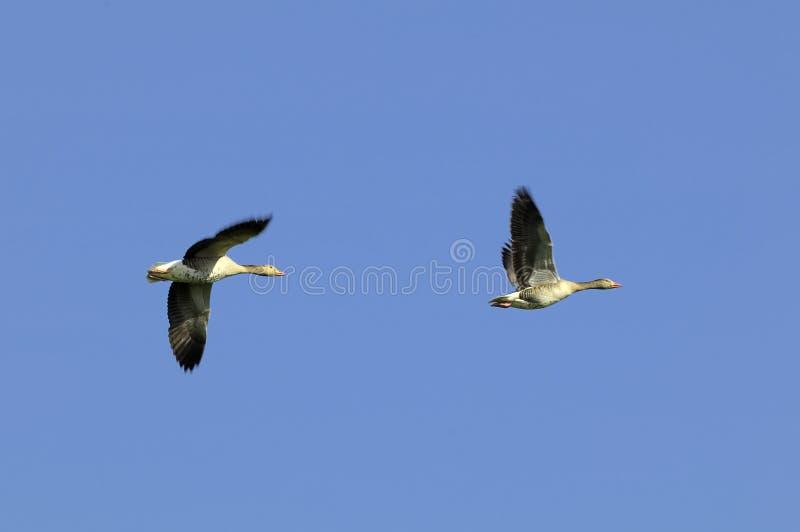 Gansos de ganso silvestre en vuelo imagenes de archivo