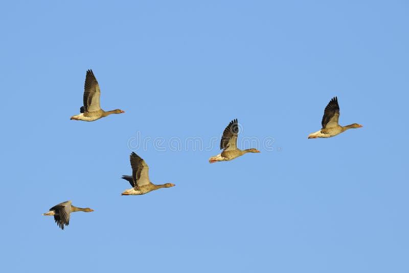 Gansos de ganso silvestre en vuelo imagen de archivo