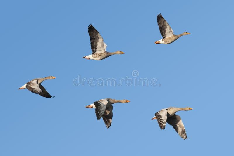 Gansos de ganso silvestre en vuelo imágenes de archivo libres de regalías