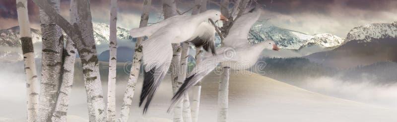 Gansos de neve foto de stock royalty free