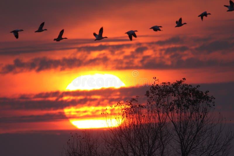 Gansos de nieve en la puesta del sol imágenes de archivo libres de regalías