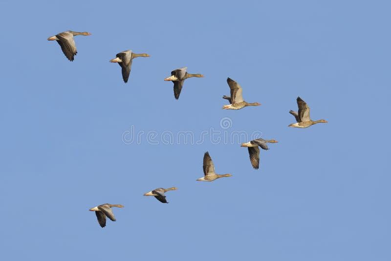 Gansos de pato bravo europeu em voo fotos de stock royalty free