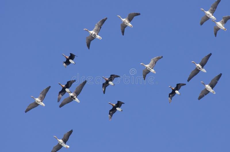 Download Gansos de peito branco foto de stock. Imagem de zoology - 26520028