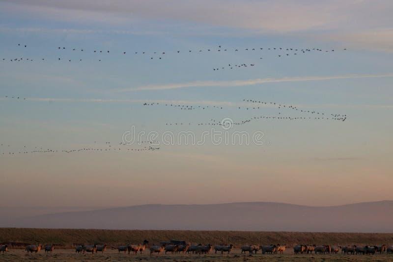 Gansos dos Skeins, carneiros nos campos, nascer do sol, Pilling imagens de stock royalty free