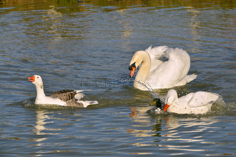 Gansos e cisne na água foto de stock