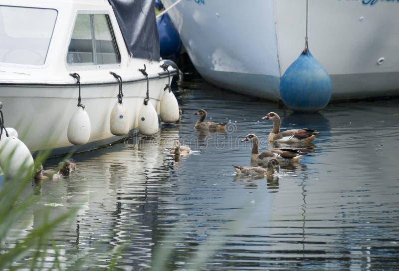 Gansos egípcios na água fotos de stock royalty free