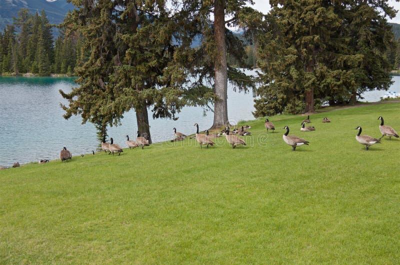 Gansos em um campo verde na costa do lago, Jasper National Park imagem de stock