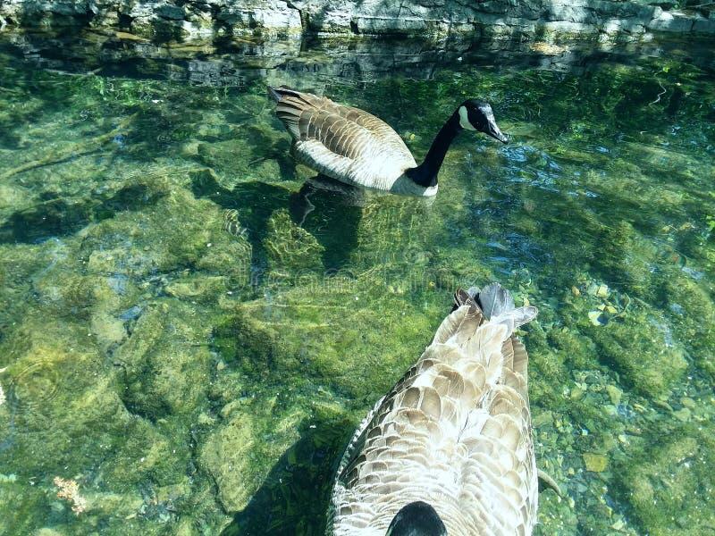 Gansos en el agua foto de archivo libre de regalías