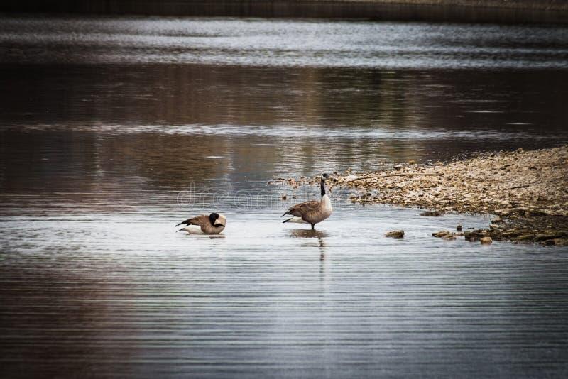 Gansos en el agua poco profunda en la orilla del lago imagenes de archivo